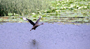 Fly the black swan Royalty Free Stock Images