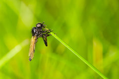 Fly on blade of grass Royalty Free Stock Image