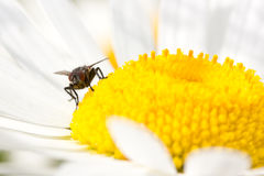 Fly  on the blooming daisy Royalty Free Stock Photo