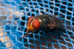 Fly on blue net Royalty Free Stock Photos