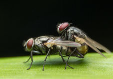 Fly Breeding, Insect in Nonthaburi, Thailand Royalty Free Stock Images