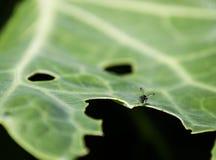 Fly on a bug eaten leaf Royalty Free Stock Photos