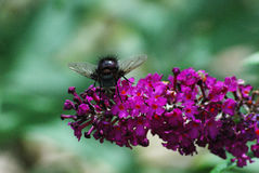 Fly on Butterfly Bush Flower Stock Photos