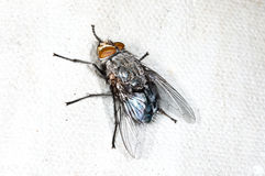 Fly, Callipohora Royalty Free Stock Photo