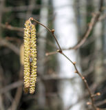 Fly on the catkin adler Royalty Free Stock Photos