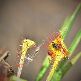 Fly caught by drosera sundew Royalty Free Stock Photo