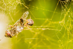 Fly caught in spider web. Being being eatten by small brown spider Stock Images