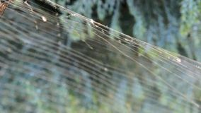 Fly caught in a spiders web stock video