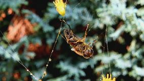 Fly caught in a spiders web stock video footage