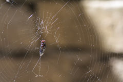 Fly Caught in Web Royalty Free Stock Photos