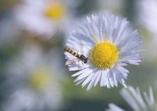 Fly on the chamomile Royalty Free Stock Image