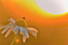 Fly on a chamomille with rising sun behind. Beautiful background with morning sunlight Stock Photo