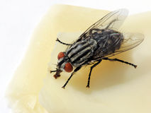 Fly on a cheese Royalty Free Stock Photo