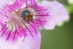 Fly cleaning body in pink flower.  Stock Images