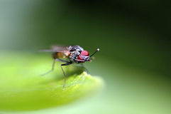 Fly is cleaning his eyes. Closeup from a fly on a green leaf, nice dof background, big red eyes and the fly is cleaning them Stock Photos