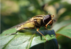 Fly cleaning its eyes Royalty Free Stock Photos