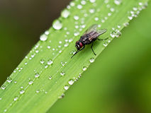 Fly Cleaning Itself On Wet Leaf Royalty Free Stock Images