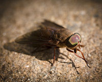 Fly cleaning legs. Fly cleaning its legs while it sits on a rock Stock Photography
