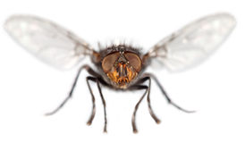 Fly close up Royalty Free Stock Photography