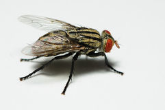 Fly close up Stock Images