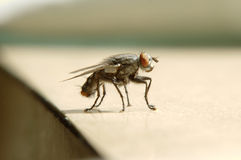 Fly close up Royalty Free Stock Image
