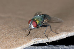 Fly close up Stock Image