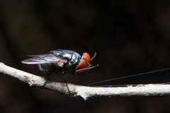 Fly. Close up. Royalty Free Stock Photography