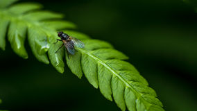 Fly. Close up of a green fly sitting on a green leaf Stock Photos