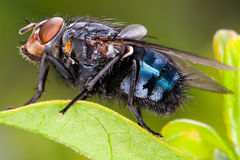 Fly close up, insect macro. Bluebottle Royalty Free Stock Images