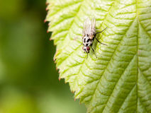 A fly close up on a leaf resting still macro. Detail focus sharp eyes Royalty Free Stock Images