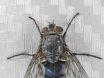 A fly,close up, macro, big fly, monster insect, top view Royalty Free Stock Photo