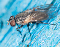 Fly. close-up Royalty Free Stock Images