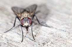 Fly. close-up Stock Images