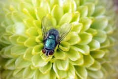 The Fly Stock Photography