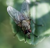 Fly Closeup Royalty Free Stock Photography