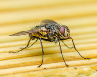 A Fly Closeup Stock Photos