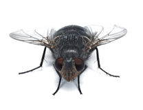 Fly closup. Detailed exposure of a fly with red eyes Royalty Free Stock Image