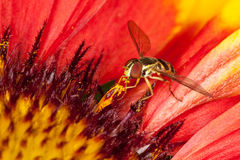 Fly collecting pollen from a flower Stock Photography
