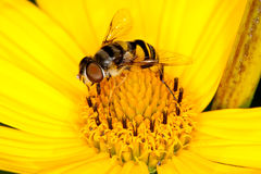A fly collecting pollen from a yellow flower Stock Images