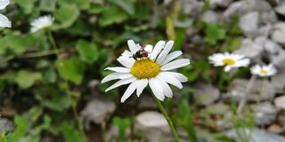Forest fly on chamomile stock images