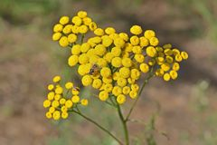 The fly collects nectar on the flowers of tansy.  stock photos