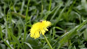 Fly collects pollen on flower of the dandelion stock footage