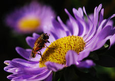 Fly and color. A Hippobosca equina that has roosted To lilac color, for a morning Royalty Free Stock Images