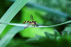 Fly with color wasps Royalty Free Stock Image