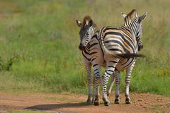 Fly control. Zebra mother and foal chasing flies from one another's face Royalty Free Stock Photography