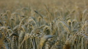 Fly on Covered Barley Grains in a Barley Field stock video footage