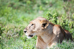 Fly covered Lioness laying in grass Stock Photos