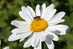 Fly on a daisy Stock Photography