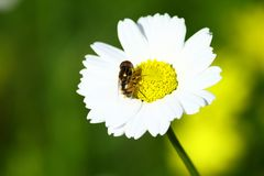 Fly on a daisy Stock Photos
