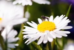 Fly on a daisy Royalty Free Stock Image